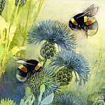 Bumblebees on Knapweed