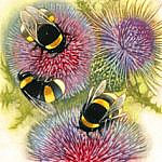 Bumblebees on Thistles